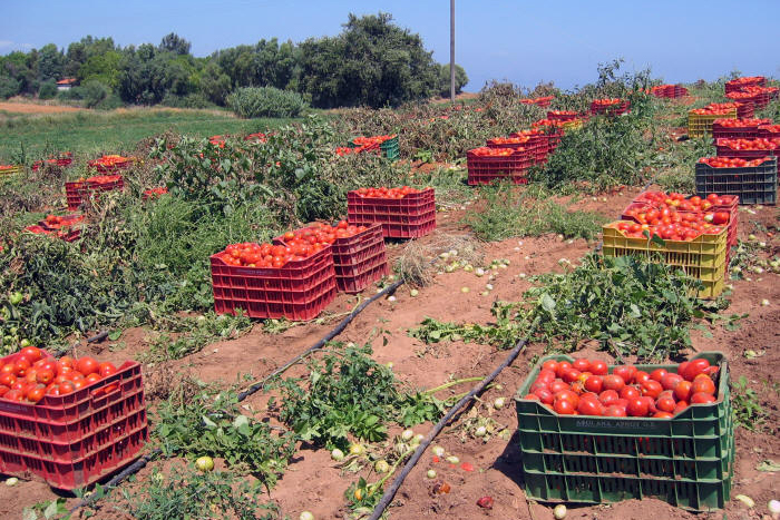 Tomatenernte Lakopetra im Nord-West-Peloponnes